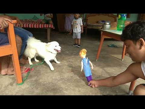 Pomeranian dog playing with Doll with uncle.