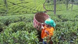 Pinky in ooty tea garden