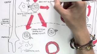 Immunology Map III - T cell development II