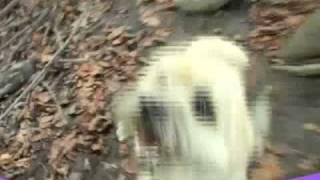Cairn Terrier Ozzy / Zalazar Le Grand