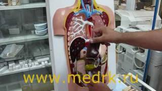 Торс человека Н-7 (учебная разборная модель)(Демонстрационная учебная модель человеческого торса Н7 предназначена для изучения тела и внутренних орган..., 2010-06-29T13:50:01.000Z)