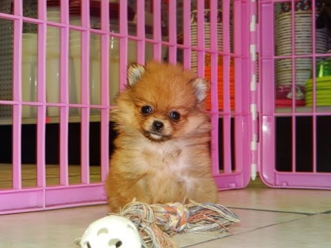 craigslist pomeranian pomeranian puppies dogs for sale in mesa arizona az 4091