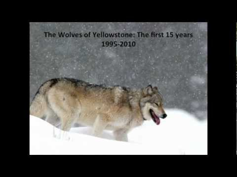 Wolves of Yellowstone: The First 15 Years 1995-2010. Doug Smith 8/2/2012