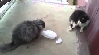 Коты дерутся не на жизнь, а насмерть (Смотреть всем)