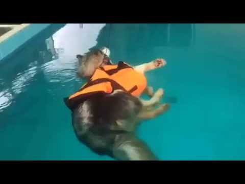 This husky was supposed to learn how to swim , but discovered he could just float instead: