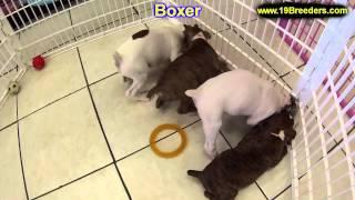 Boxer, Puppies, For, Sale, In,omaha ,nebraska, Ne,lincoln, Bellevue, Grand Island