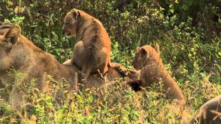 Lion Pride and their Adorable Cubs on Wildearth Safari TV Diary - 2011.05.07