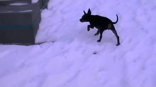 Miniature Pinscher Dobie In The Snow (14,5 Weeks)