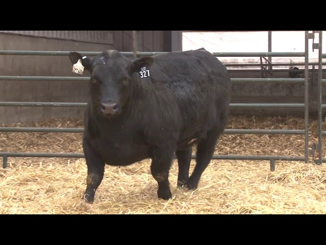 Schiefelbein Angus Farms Lot 327