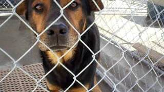 Pender County Animal Shelter -rottweiler Mix Breed