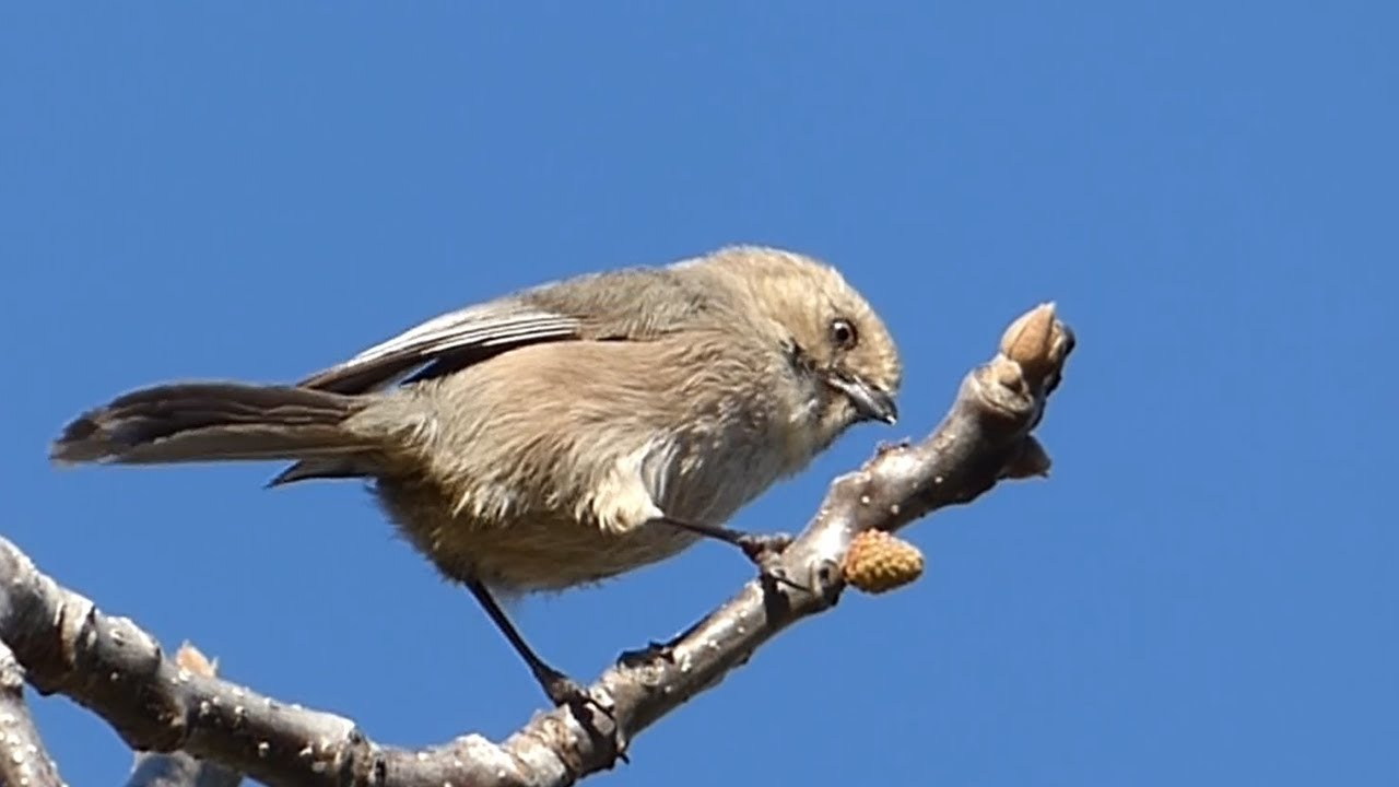 Birds of North America - Bushtit (Psaltriparus minimus)