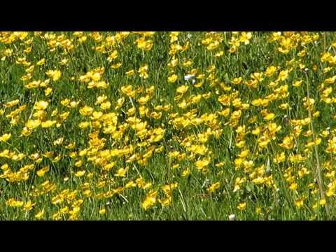 Лютик (растение)едкий, ядовитый, ползучий – полезные
