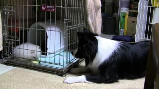 2011/10/10にポメラニアンのパピーが我が家にやって来ました。 先住犬の...