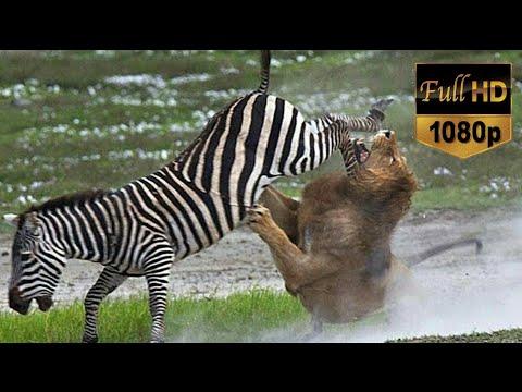 Aslan Ve Zebra 1 Saatlik Hayvan Belgeseli - Lion Vs Zebra - Lion Attack ! (Türkçe Dublaj)