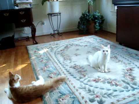 Adopt Missy, a Turkish Angora kitty * Bideawee, Westhampton | FunnyCat ...
