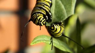 Monarch Butterfly Caterpillers Munching & Fighting Over A Swan Plant