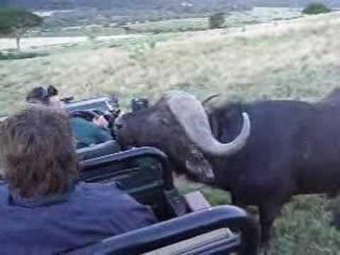 Close Encounter with a Cape Buffalo