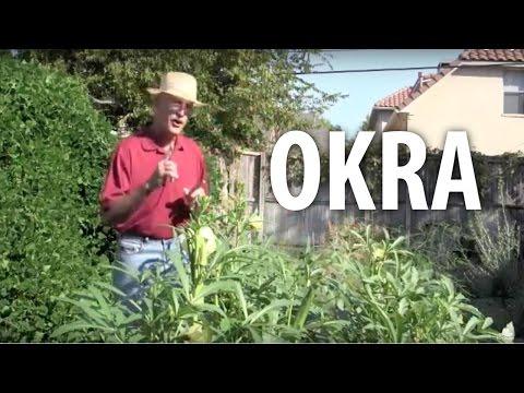 Okra - The Dirt Doctor
