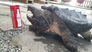 등껍질 닦아주다 손가락 잘릴뻔 했습니다..ㅎㄷㄷ [정브르] /alligator snapping turtle
