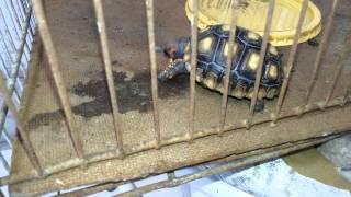 Alimentando jabuti e tartaruga