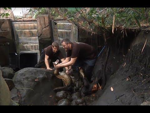 Zookeeper wrestles 18ft anaconda barehanded