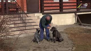 Характер хилера, агрессия Чери на корсо Грея, поведение собак, социализация