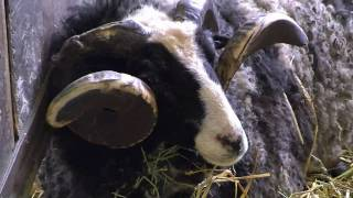 士別市の「世界のめん羊館の羊たちを特集。世界30種類の羊たちを飼育し...