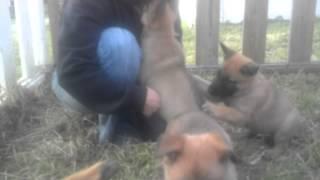 Malinois X German Shepherd Female Puppies