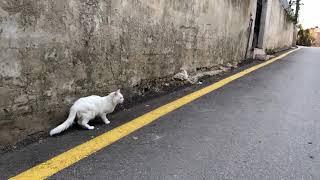 اطلاق سراح قط سيامي اصلي ليتهجن مع القطط البريه مع جمال العمواسي