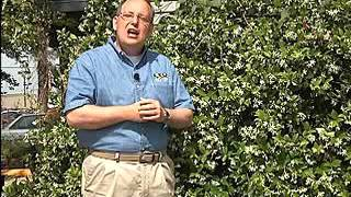 Plant Confederate jasmine for fragrant flowers