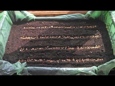 Как вырастить березу из семян в домашних условиях