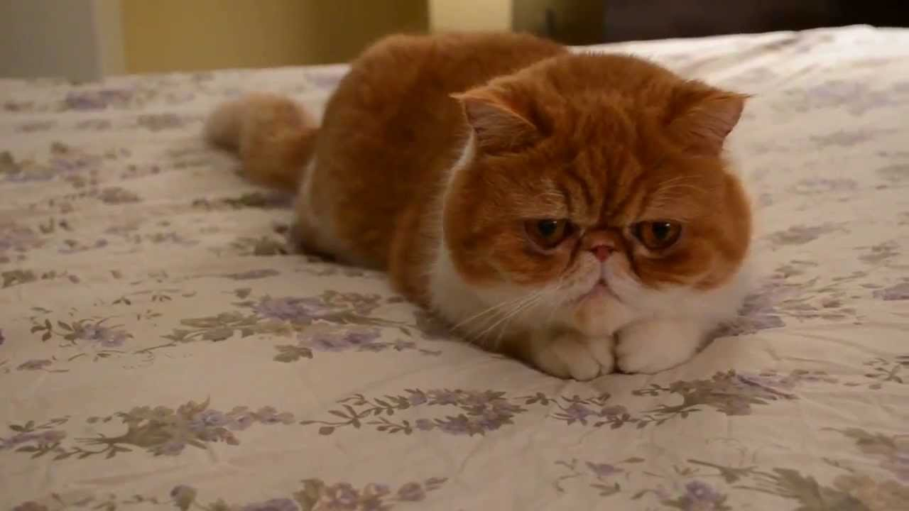 Extremely Cute Cat Video of an Exotic shorthair flat face cat