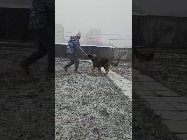 Caucasian Shepherd Dog  Female #1 for sale (5.5 months)