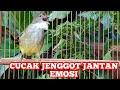 Pancingan Jenggot Jantan Kesurupan Ampuh Buat Pancing Jenggot Lain Kicau Pidong  Mp3 - Mp4 Download