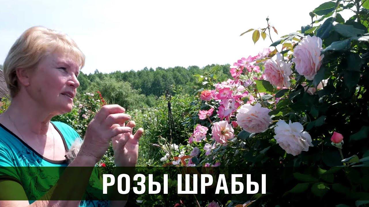 Парковые розы. Розы Шрабы. Сорта роз.