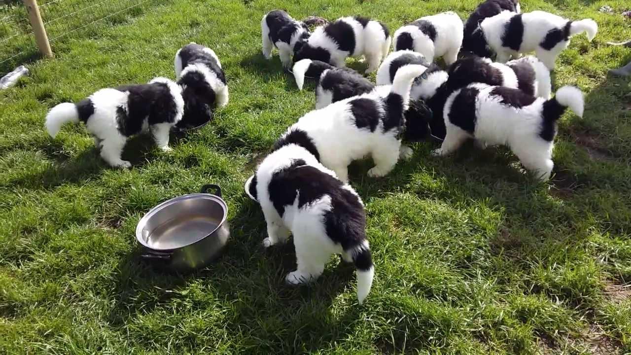 Landseer Newfoundland Puppies 6 Weeks Old Youtube
