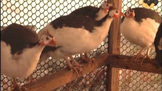 Цесарка: Загорская белогрудая порода