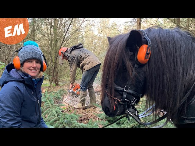Shetland Pony tries Horse Logging.....or Twigging!