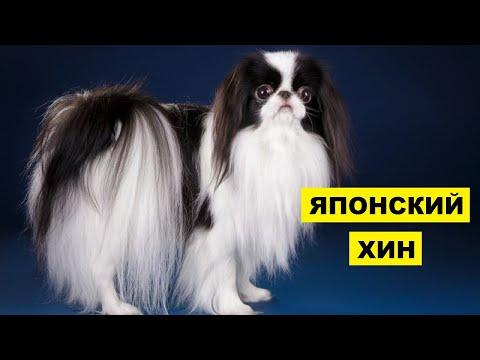 Японский хин плюсы и минусы породы | Собаководство | Порода Японский хин