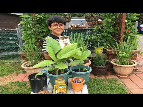 How To Grow Turmeric 'Kunyit' For Colder Climate | Or In The Pot - Backyard Gardening Tips & Guide