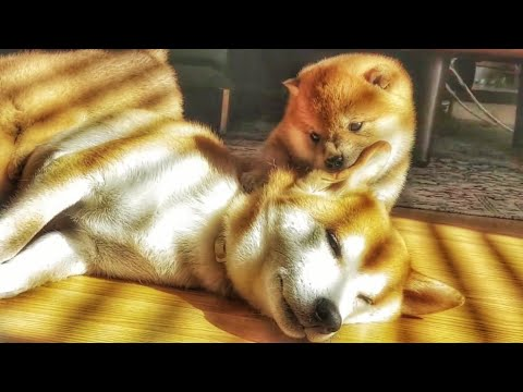 Potats do head & bacc massage to mom 💙 Shiba Inu puppies (with captions)