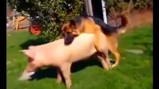 DOG Mating wit PIG!   Breeding Live Video