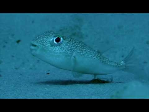 Puffer Fish Makes Truly Rare Artwork Youtube