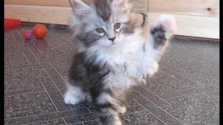 Котята мейн-куны Найджел, Нанали и Нимерия