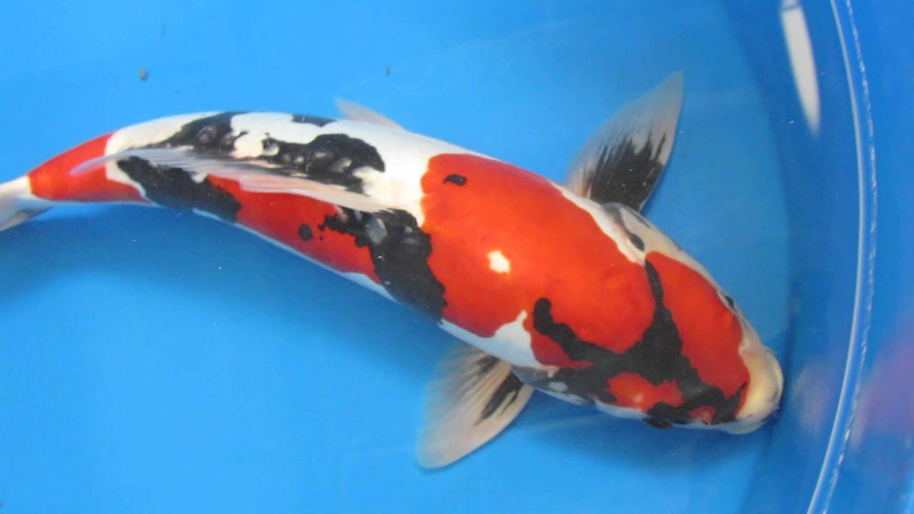 17 doitsu showa japanese koi fish youtube for Where can i buy koi fish