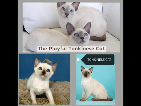 Tonkinese cats are a cross between Siamese/Burmese breeds!  'KATYUSHA' THE HAPPY HYPER  KITTEN!!!