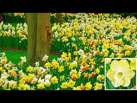 How to plant Daffodil Bulbs: Jeff Turner plants mixed ...