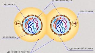 Деление клетки. Уроки биологии.