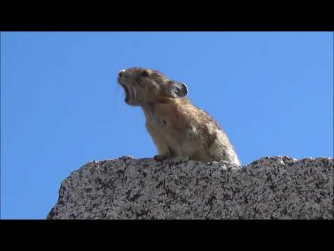 Watch this adorable little pika sing along to Queen