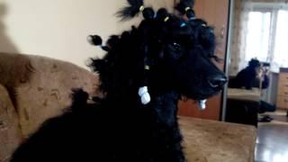 """Малый черный пудель Гуффи, 8 мес., смотрит передачу про обучение команде """"рядом!""""))"""